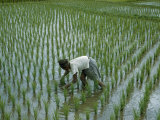 Ankle-Deep in Mud, a Farmer Weeds His Rice Paddy Photographic Print by W. Robert Moore