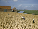 Laborers Work in a Field of Drying Flax Photographic Print by Maynard Owen Williams