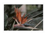 This Close Up Shot Is of the Flower Strelitzia Reginae Photographic Print by Wilhelm Tobien