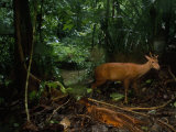 Red Brocket Deer Climbs Up the Bank from a Creek Photographic Print by Steve Winter