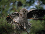 Immature Great Gray Owl (Strix Nebulosa) Stands on a Branch Thrashing its Wings Photographic Print by Michael S. Quinton