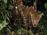 Jaguar Photographic Print by Steve Winter