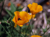 Bee Drinking from a California Poppy Photographic Print by Ed George