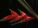 Close View of a Heliconia Flower Fotografisk tryk af Paul Chesley