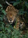 Jaguar Lurks in the Shadows Photographic Print by Steve Winter