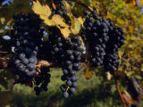 Close View of Black Grapes Growing on a Vine Photographic Print by Michael Melford