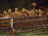Tall Weeds in Autumn Brown Along a Split-Rail Fence Impressão fotográfica por Raymond Gehman
