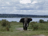 Flapping His Ears, a Male Elephant with Tusks Advances Aggressively Photographic Print by W. Robert Moore