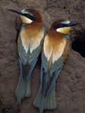 Pair of Bee Eater Birds Perching Near their Nesting Hole Photographic Print by Jozsef Szentpeteri