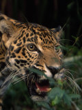 Portrait of a Jaguar's Face Photographic Print by Steve Winter