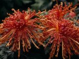Red Spider Chrysanthemums Bathed in Sunlight Reproduction photographique par Paul Damien