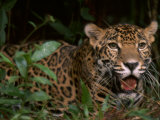 Jaguar Named Boo Rests at the Belize Zoo Photographic Print by Steve Winter