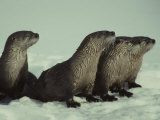 River Otter Family, Montana Photographic Print by Michael S. Quinton