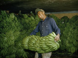 Worker Unloads Stems of Green Bananas from Honduras Photographic Print by Justin Locke
