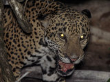 Jaguar Snarls at the Camera Shortly before Being Shot with a Tranquilizer Dart Photographic Print by Steve Winter