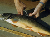 Man Tags a Fin of a 23-Inch-Long Golden Trout Photographic Print by Robert Sisson
