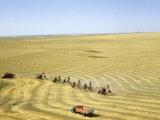 Combines in a Row Harvest Expansive Field of Golden Wheat Fotografisk trykk av Joseph Baylor Roberts