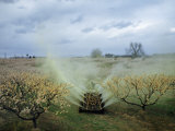 Farmer Sprays Peach Orchard with Lime Sulphur to Prevent Brown Rot Photographic Print by Robert Sisson