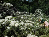Woman Bends to Inspect White Mountain Laurel Blossoms Photographic Print by Robert Sisson