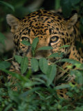 Jauguar Hides Behind a Bush Photographic Print by Steve Winter