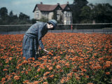 Woman Stands in a Garden Filled with Calendulas Photographic Print by Clifton R. Adams