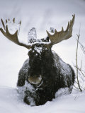 Bull Moose Wading Through Three Feet of Snow Fotografiskt tryck av Michael S. Quinton