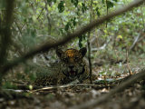 Jaguar Lies in the Shade of Jungle Growth Photographic Print by Steve Winter