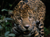 Jaguar Named Boo Gets Up Close to a Camera at the Belize Zoo Photographic Print by Steve Winter