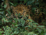 Jaguar Rests in a Patch of Weeds Photographic Print by Steve Winter