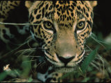 Jaguar Named Boo at the Belize Zoo Looks into the Camera Photographic Print by Steve Winter