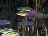 Lotus Water Lily Pads and Bloom in Calm Water Reproduction photographique par Paul Damien