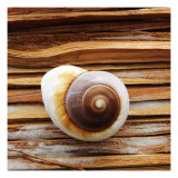 Seashell on Wood Photo