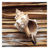 Conch Seashell on Wood Posters