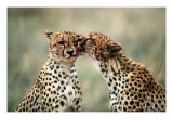 Cheetahs Sitting in Grass Poster