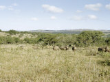 White Rhinoceroses Graze Beneath Thorn Trees Photographic Print by Dr. Gilbert H. Grosvenor