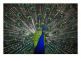 Peacock Affiches