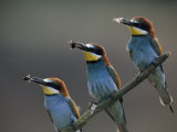 Beaks Replete with Prey, a Trio of Bee Eaters Eye their Nearby Nests Photographic Print by Jozsef Szentpeteri