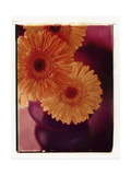 Gerber Daisies in Vase Prints