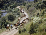 Man and Dog Herd Cattle Through Gorge Lined with Tree Ferns Photographic Print by Howell Walker