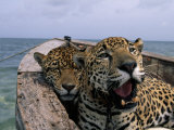 Two Jaguars Rest in a Boat Photographic Print by Steve Winter