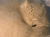 Close-up of a White Arctic Fox (Alopex Lagopus) Resting, One Eye Open Photographic Print by Norbert Rosing