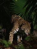 Children from an Education Program View a Black Jaguar at the Zoo in Belize Photographic Print by Steve Winter