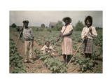 Four Children Cultivate Cotton in a Field Photographic Print by Edwin L. Wisherd