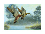 Ducks in Flight Premium Giclee Print
