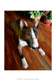Bull Terrier Down Print by Robert Mcclintock