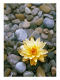 Water Lily and Stones Poster