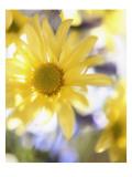 Yellow Daisies Prints
