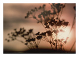 Queen Anne's Lace with Sun Poster