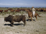 Astride a Cow Pony, a Rancher Cuts Out a Bull During a Roundup Photographic Print by Howell Walker