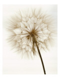Dandelion with Stem Posters